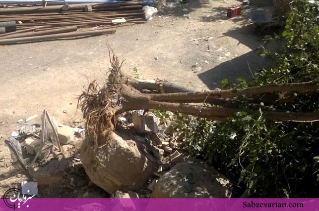 قطع درخت توسط کارکنان دانشگاه علوم پزشکی سبزوار + فیلم