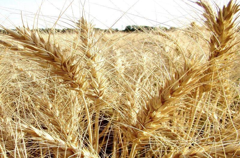 تولید گندم در جوین افزایش یافت