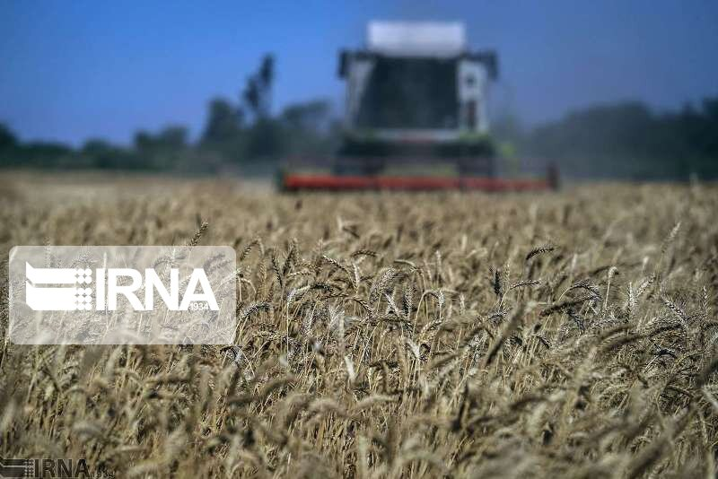 تولید گندم در خوشاب ۳۰ درصد افزایش یافت