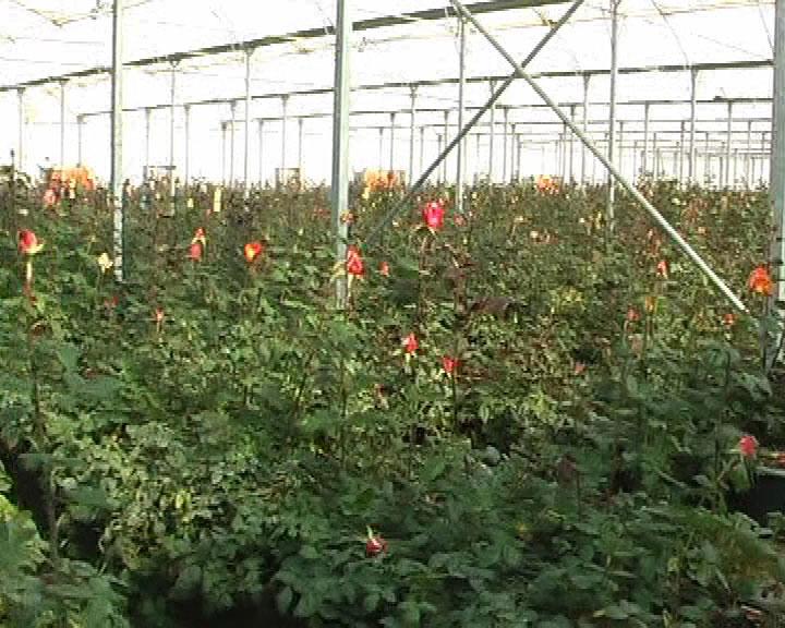 جولان دلالان در بازار گل و گیاه