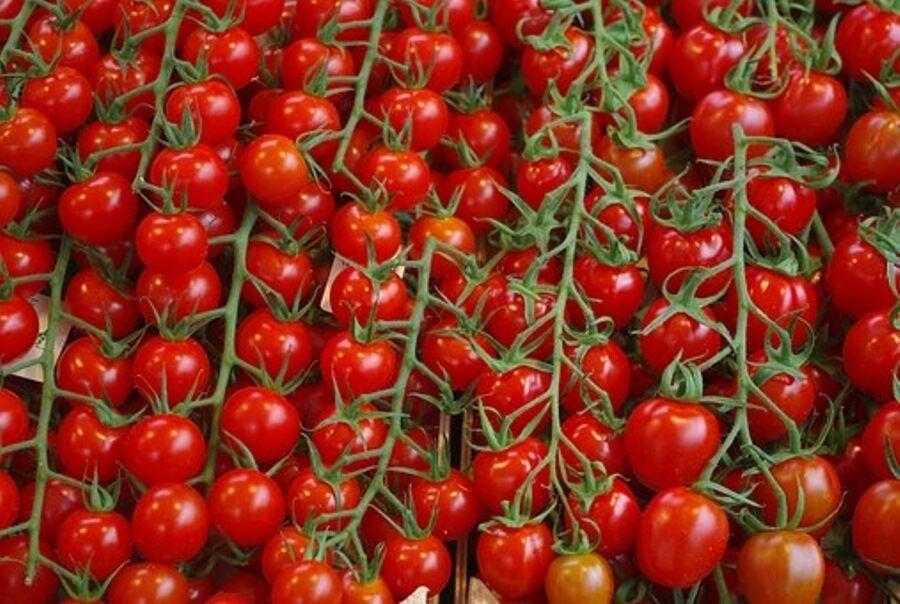 تولید گوجهفرنگی در جغتای دو برابر شد