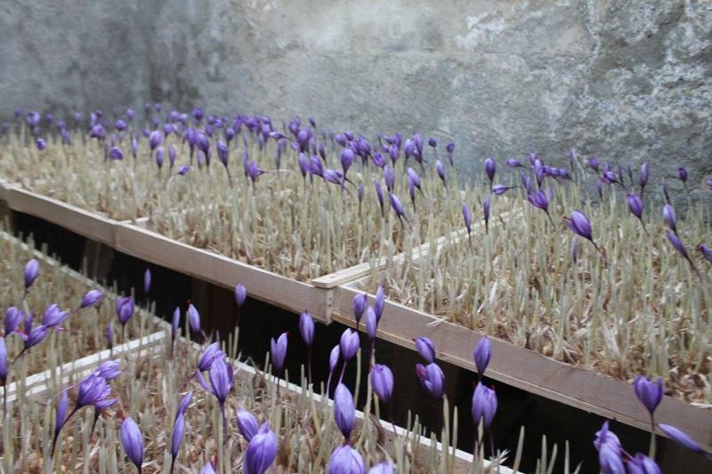 کلاهبرداری بزرگ: زعفران گلخانهای