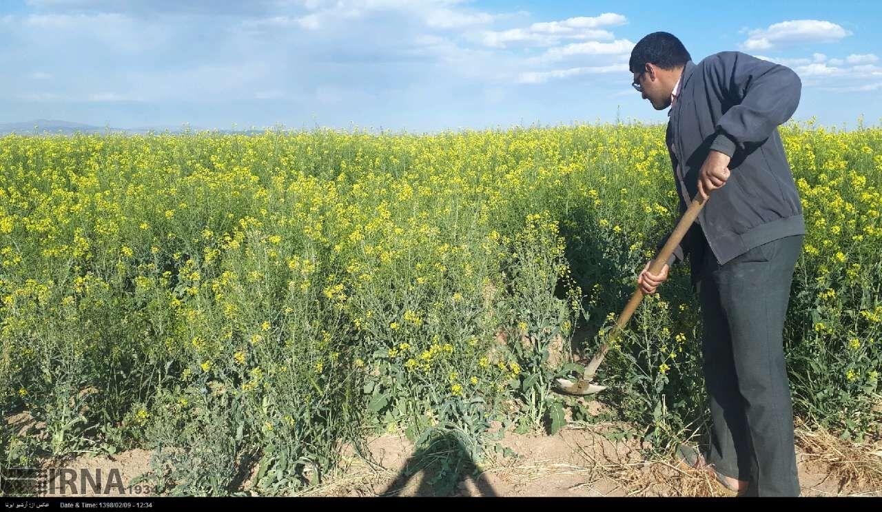 کشاورزان جوینی ۵۵۰ هکتار کلزا کاشتند