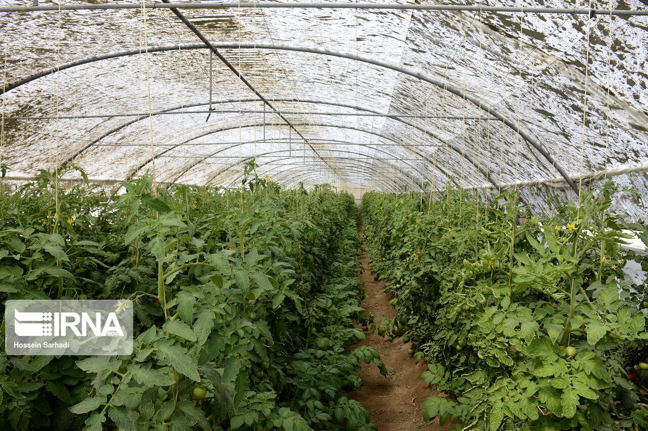 محصول نخستین باغ گلخانهای جغتای روانه بازار شد