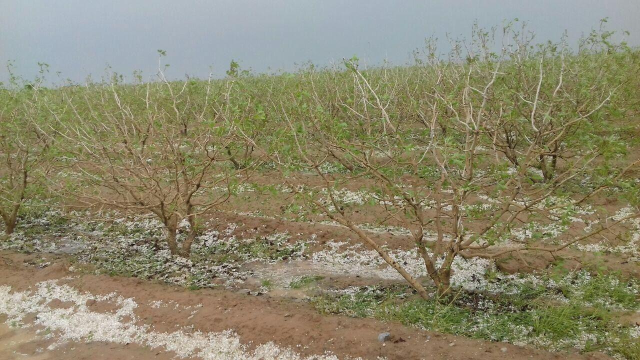 حوادث طبیعی ۱۲۰ میلیارد ریال به کشاورزی خوشاب خسارت زد