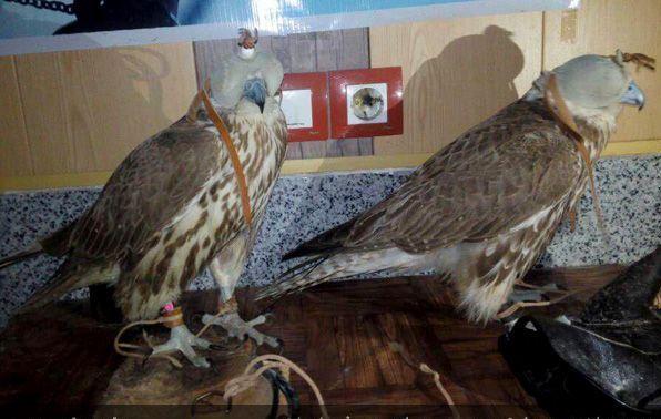 کشف دو بهله جوجه عقاب در سبزوار